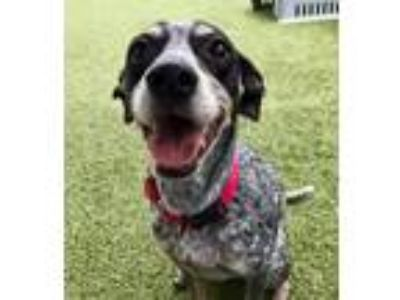 Adopt Lucky a White - with Black Mixed Breed (Small) / Whippet / Mixed dog in