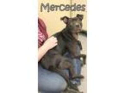 Adopt Mercedes a Black - with White Pit Bull Terrier / Mixed dog in Tremont