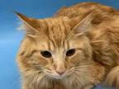 Adopt Rosie a Orange or Red Domestic Shorthair / Domestic Shorthair / Mixed cat
