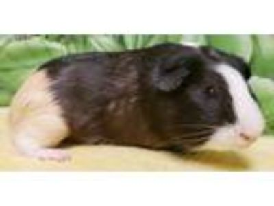 Adopt Baron a Black Guinea Pig / Mixed small animal in Englewood, FL (25175901)