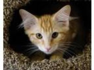 Adopt Poppy a Orange or Red Domestic Shorthair / Domestic Shorthair / Mixed cat