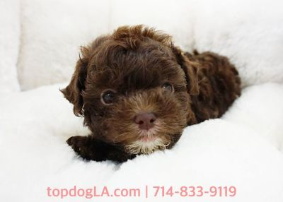 Maltipoo Puppy - Female - Latte ($1,599)
