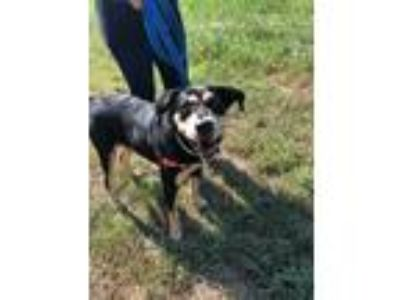 Adopt Petunia a Black - with Tan, Yellow or Fawn German Shepherd Dog / Hound