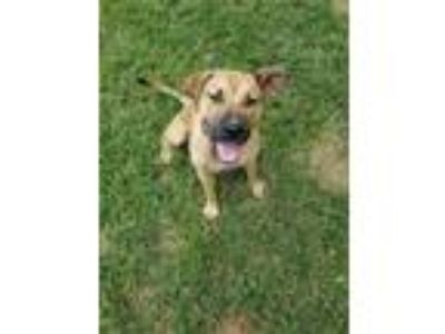 Adopt Mary Kate a Shepherd, Black Mouth Cur