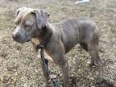 Adopt BELLA a Brown/Chocolate American Pit Bull Terrier / Mixed dog in