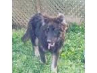 Adopt Dwight a German Shepherd Dog