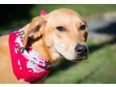 Adopt 191018. Mary Ann a Tan/Yellow/Fawn Hound (Unknown Type) / Mixed dog in