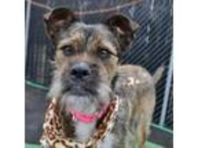 Adopt Sofia a Tan/Yellow/Fawn Wirehaired Fox Terrier dog in Island Park