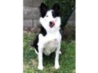 Adopt LILY a Black - with White Border Collie / Mixed dog in San Pedro