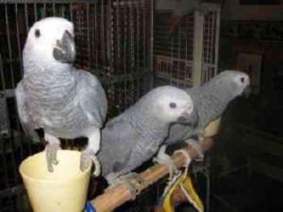 Lovely pair of African grew parrots for Sale