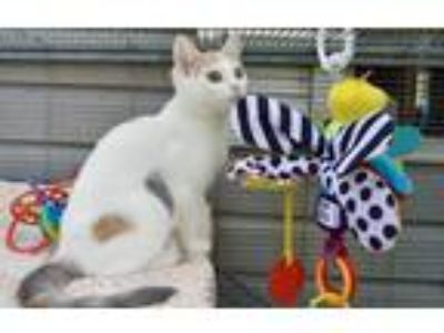 Adopt Daisy a Calico or Dilute Calico Domestic Shorthair (short coat) cat in