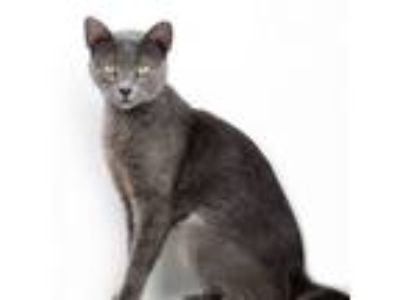 Adopt Lovely Layla the love bug! WOW cat!! a Russian Blue