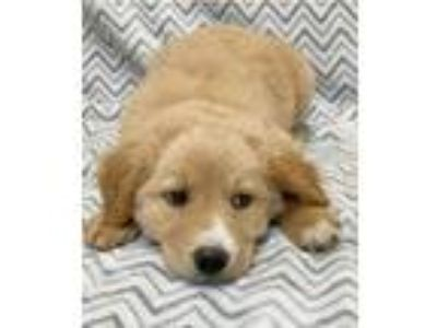 Adopt Tanner a Tan/Yellow/Fawn - with White Retriever (Unknown Type) / Mixed dog