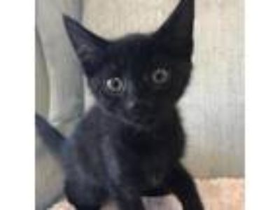 Adopt Dex a All Black Domestic Shorthair cat in Woodstock, GA (25532239)