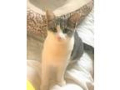 Adopt Breslin a Domestic Short Hair