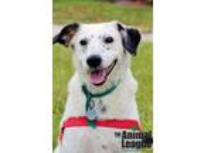 Adopt Oreo a Black - with White Dalmatian / Corgi / Mixed dog in Groveland