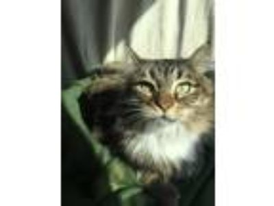 Adopt Ms. Kitty a Brown Tabby Domestic Mediumhair (medium coat) cat in Red Wing