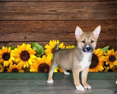 This male shiba inu is 2195 or 71 a month! Ask us about our puppy payment!