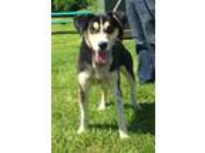 Adopt Jetson a Tricolor (Tan/Brown & Black & White) Husky / Mixed dog in