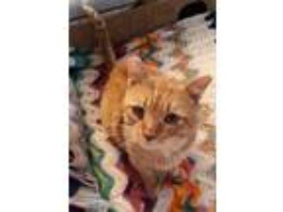 Adopt Samson2 a Orange or Red Domestic Shorthair / Domestic Shorthair / Mixed