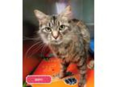 Adopt Buffy - PETSEN$E and FREE Gift Bag a Brown or Chocolate Maine Coon / Mixed