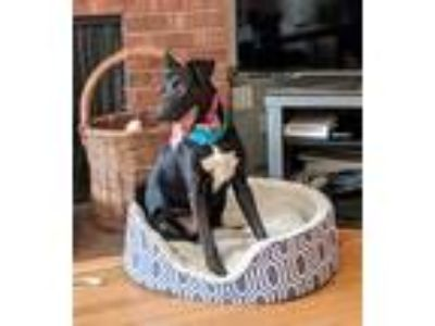 Adopt Savanna a Black - with White Border Collie / Labrador Retriever / Mixed