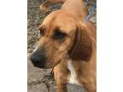 Adopt Clover a Tan/Yellow/Fawn Bloodhound / Mixed dog in Salina, KS (24721263)