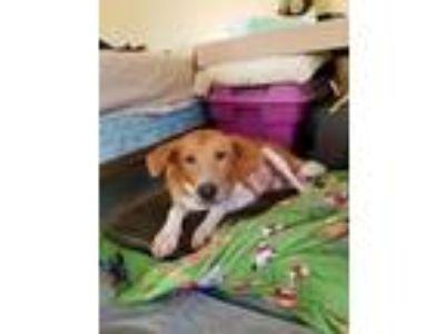 Adopt Bella a Labrador Retriever, Collie