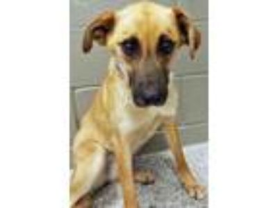 Adopt Elinor a Tan/Yellow/Fawn Shepherd (Unknown Type) / Mixed dog in Hinsdale