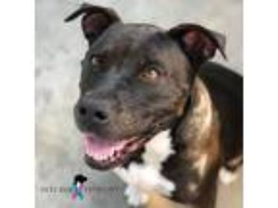 Adopt OONA a Pit Bull Terrier