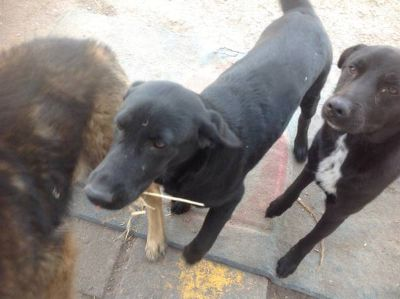 Two black young dogs well behaved and house broken (1-2 yrs) (corpus christi)