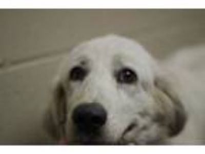 Adopt Laci a Great Pyrenees