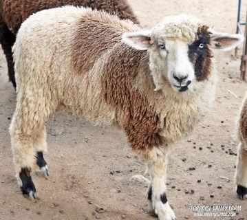 Harlequin Ewes