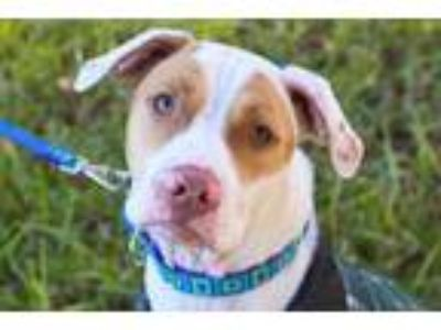 Adopt Turkey a Pit Bull Terrier, American Staffordshire Terrier