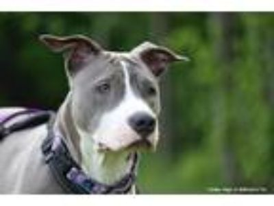 Adopt Amethyst a Gray/Silver/Salt & Pepper - with White Pit Bull Terrier / Mixed