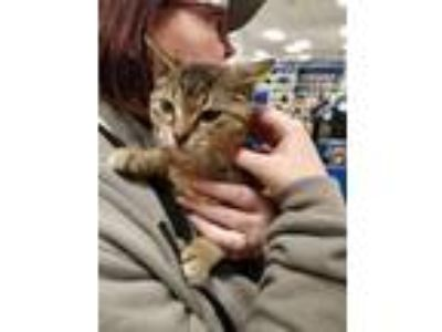 Adopt Jolie a Brown Tabby Domestic Shorthair (short coat) cat in Avon