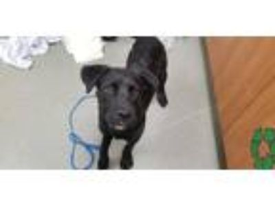 Adopt a Black - with White Flat-Coated Retriever / Mixed dog in Fort Lauderdale