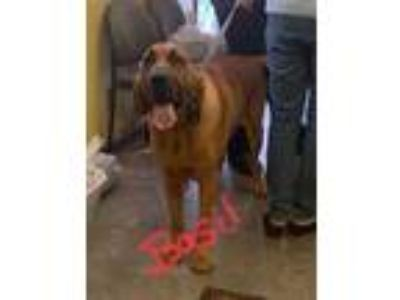 Adopt basil a Brown/Chocolate Bloodhound / Mixed dog in Henderson, KY (25219428)