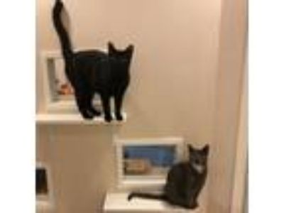 Adopt Delaware and Opal a Domestic Short Hair