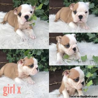Gorgeous Girl Red/white Dad Gold Health Tested