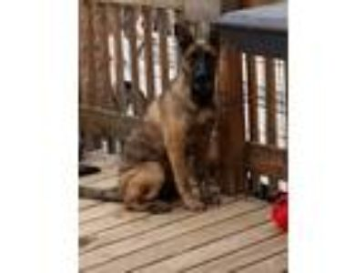 Adopt Molly a German Shepherd Dog, Labrador Retriever