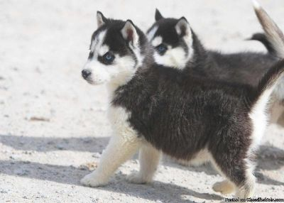 Blue Eyes Siberian Husky Puppies Avail