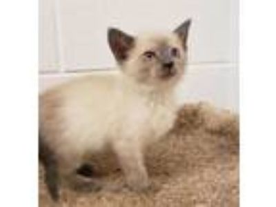 Adopt a White (Mostly) Siamese / Mixed (short coat) cat in Grovetown