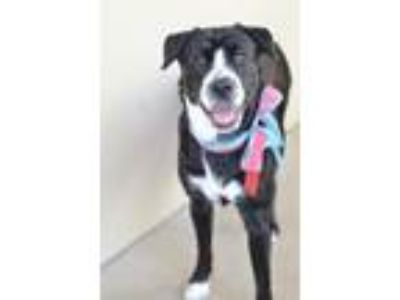 Adopt Justice a Black - with White Labrador Retriever / Mixed dog in McKinney