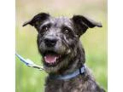 Adopt Natasha a Airedale Terrier / Mixed dog in Silverdale, WA (25919138)