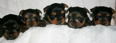 Yorkshire Terrier PUPPY FOR SALE ADN-98469 - Yorkshire Terrier Puppies