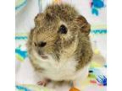 Adopt Remi -- Bonded Buddies With Kirby a Guinea Pig
