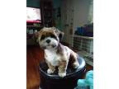 Adopt Ruckus a White - with Brown or Chocolate Lhasa Apso / Mixed dog in