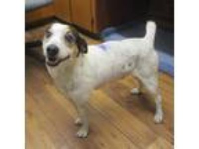 Adopt Stitch a White Rat Terrier / Mixed dog in Fayetteville, TN (25204463)
