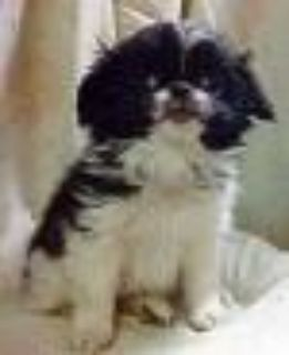 Japanese Chin Girl Puppy